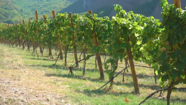 Vineyard with ripe grapes in countryside on sunny summer day, Greece