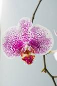 Kvete fialový květ orchideje. Phalaenopsis. Closeup