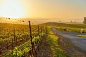 Vinice na šířku při východu slunce v Kalifornii, Usa