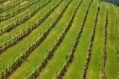 Fotografie Pohled na krajinu rozsáhlé vinice v Kalifornii, Usa