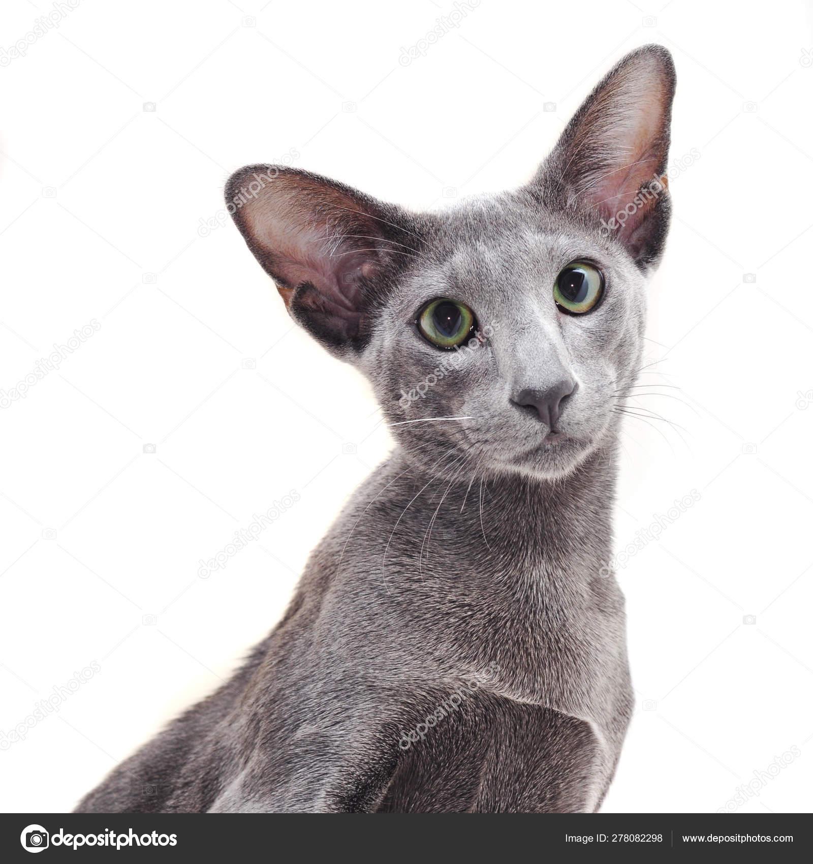 Tlustá černá plešatá kočička
