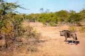 Gnú, nemzeti park, Dél-afrikai Köztársaság