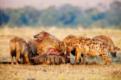 Hyena clan after successful wildebeest hunt in safari park in Kenya