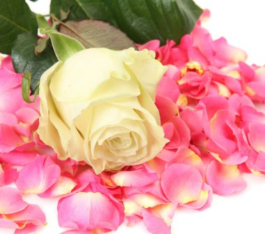 blooming rose and petals of pink roses
