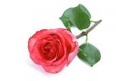 nádherná růže na bílém pozadí