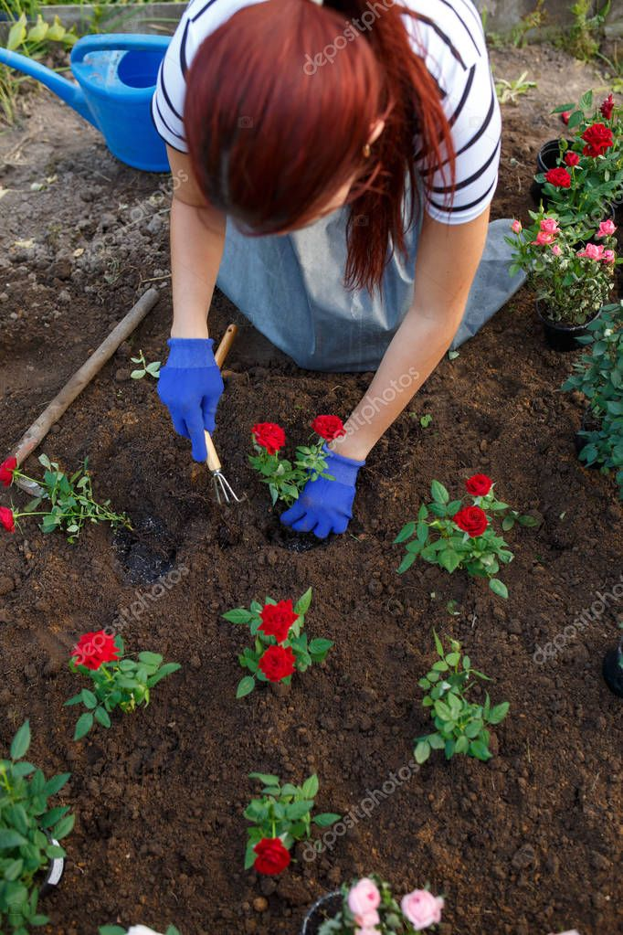 Photo of young agronomist woman planting red roses in garden