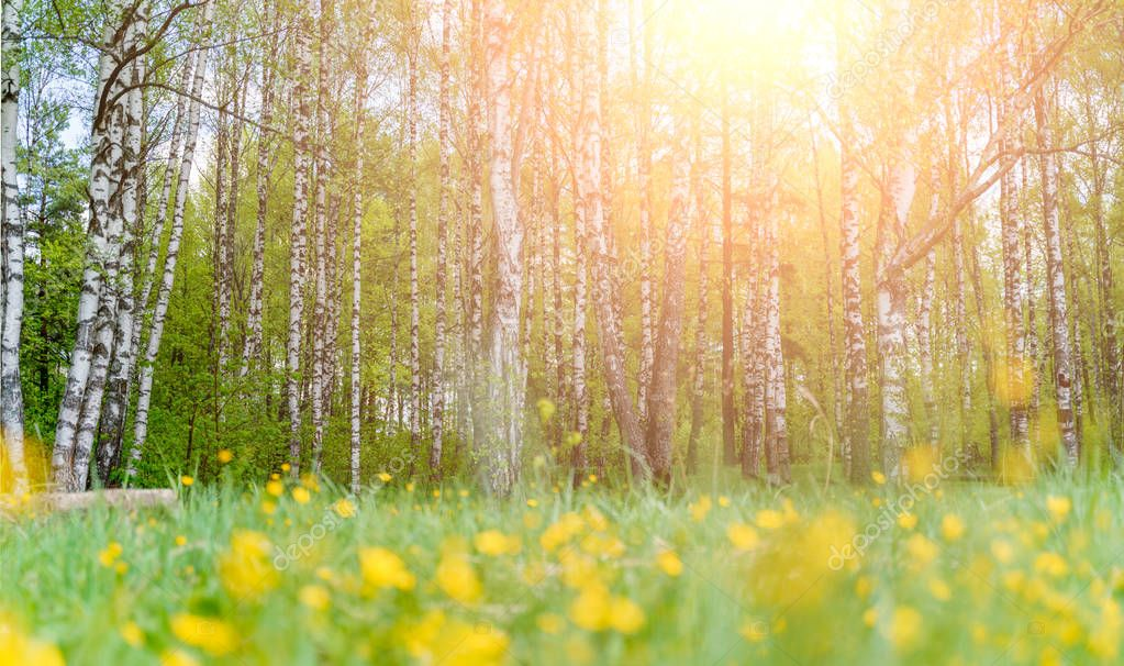 Photo of birch forest and yellow flowers in afternoon. Sunlight effect stock vector