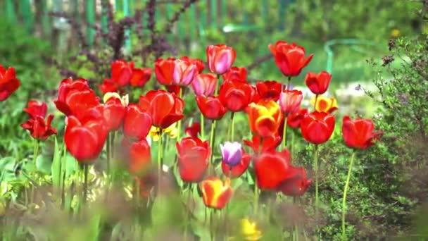 óriási piros tulipánok a virágágyáskor napfényben
