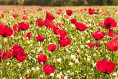 Fields of blossoming red anemones on a fine spring day. Concept of ecological and rural tourism