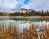 Fotografie Das Konzept des ökologischen Tourismus. Kanadische Gray wolf in den Rocky Mountains von Kanada. Morgennebel breitet sich über den Wald