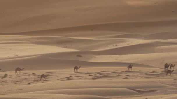 camels pasture early morning background sand dunes rub khali desert
