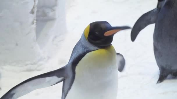 Funny royal penguins communicate in snow stock footage video