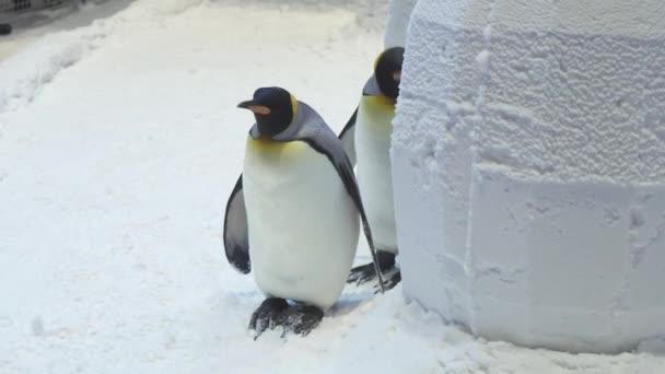 Vicces királyi pingvinek kommunikálni hó stock footage videóinak