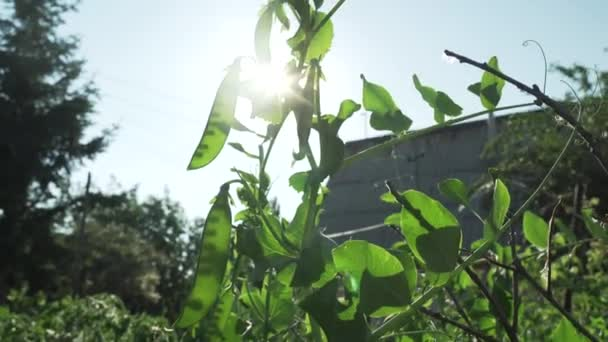 Green peas are ripening in garden stock footage video