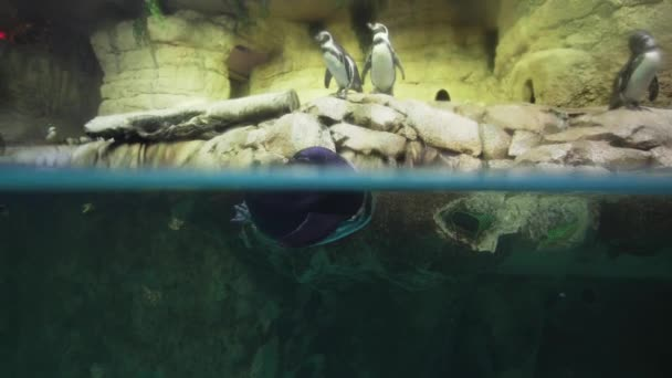 Banded penguin in an artificial open-air cage with a swimming pool stock footage video