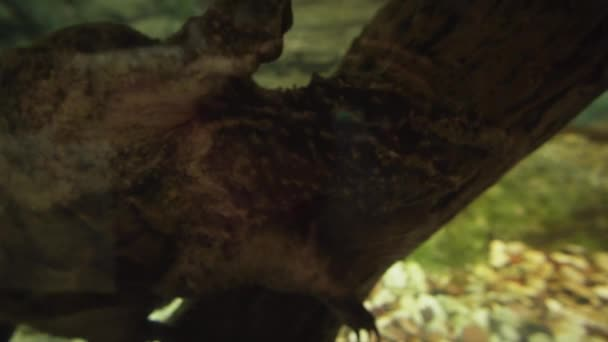 Chelydridae are family of turtles stock footage video
