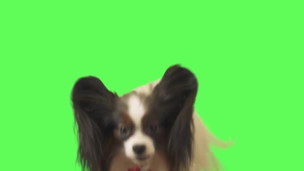 Krásný pes Papillon s červenou mašlí mluví na zeleném pozadí stopáže videa