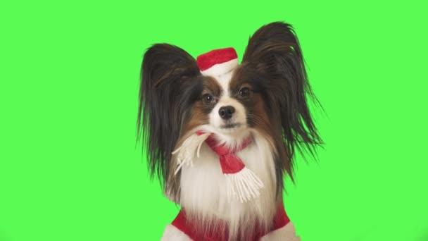 Krásný pes Papillon v kostýmu Santa Clause se upřeně dívá na kameru na zeleném pozadí stopáže videa