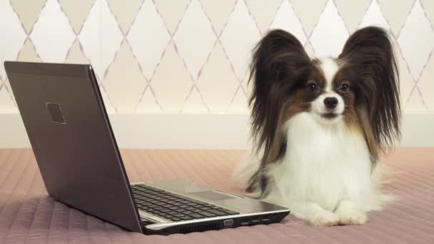 Papillon leží poblíž laptop na posteli stopáže videa