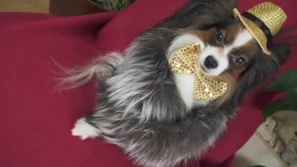 Papillonhund im schönen Anzug im Pelzmantel und ein Konzertmütze mit einem Schmetterling sind im Clipfish Footage Video zu sehen