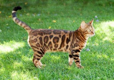 Young bengal cat in sunny garden