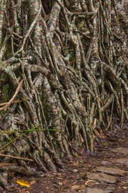 Living roots bridge near Nongriat village, Cherrapunjee, Meghalaya, India