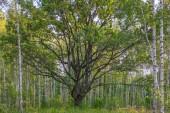 Vecchio albero di quercia nella foresta di alberi di betulla