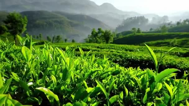 Young green tea leaves on the tea bush close up in Munnar, Kerala state, India