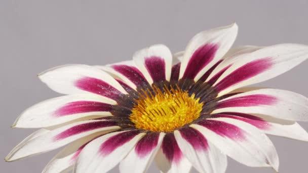 Dew kapky padající na krásné růžové bílé květy