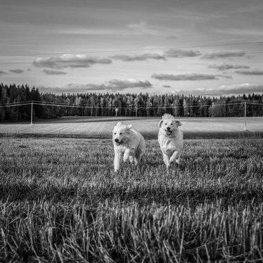 Two big white dogs are walking outdoor. Tatra Shepherd Dog. Black-white photo.