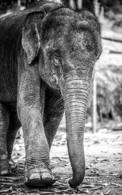 Elephant black-white photo. stock vector