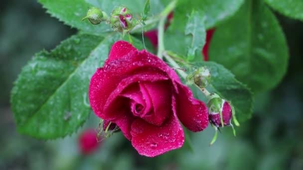 Gyönyörű nyári kerti virágok közelről. 4K felvétel.
