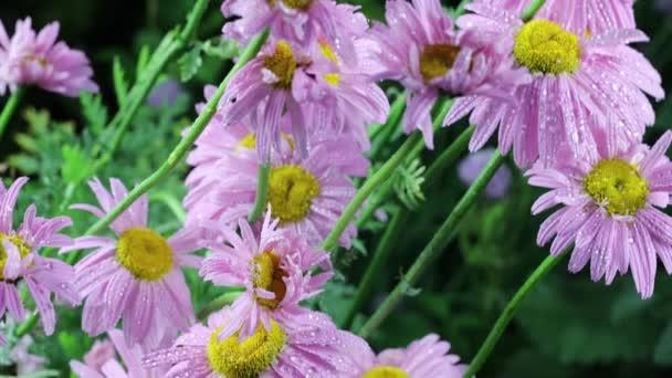 Krásná letní zahrada květiny close-up. Záběry 4K.