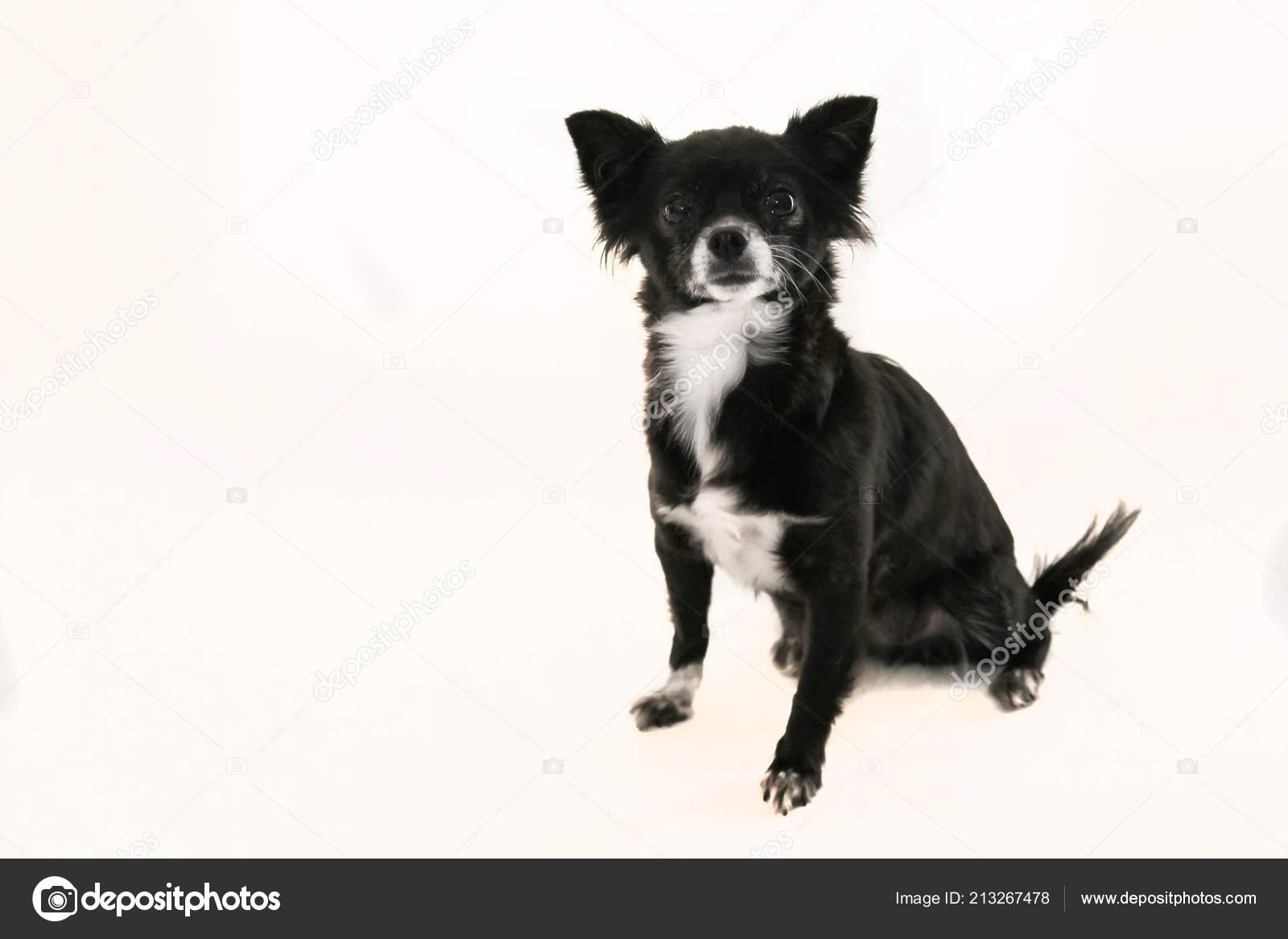 Schwarz Weiß Chihuahua Hund Mit Ohren Sitzt Auf Einem Weißen
