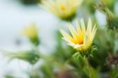 gyönyörű gazania virágok a rét a napsütéses napon, tavaszi koncepció