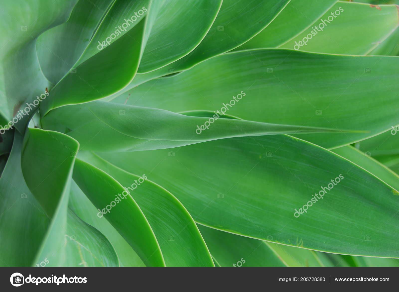 Saftig Grüne Aloe Pflanze Mit Dicken Fleischigen Blättern