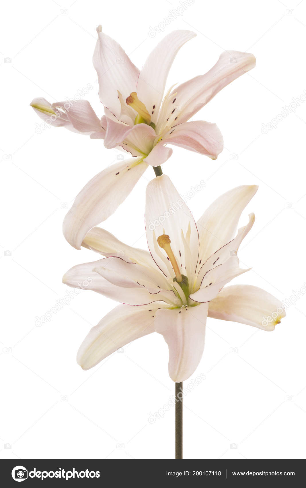 Studio shot pink colored lily flowers isolated white background studio shot pink colored lily flowers isolated white background large stock photo mightylinksfo