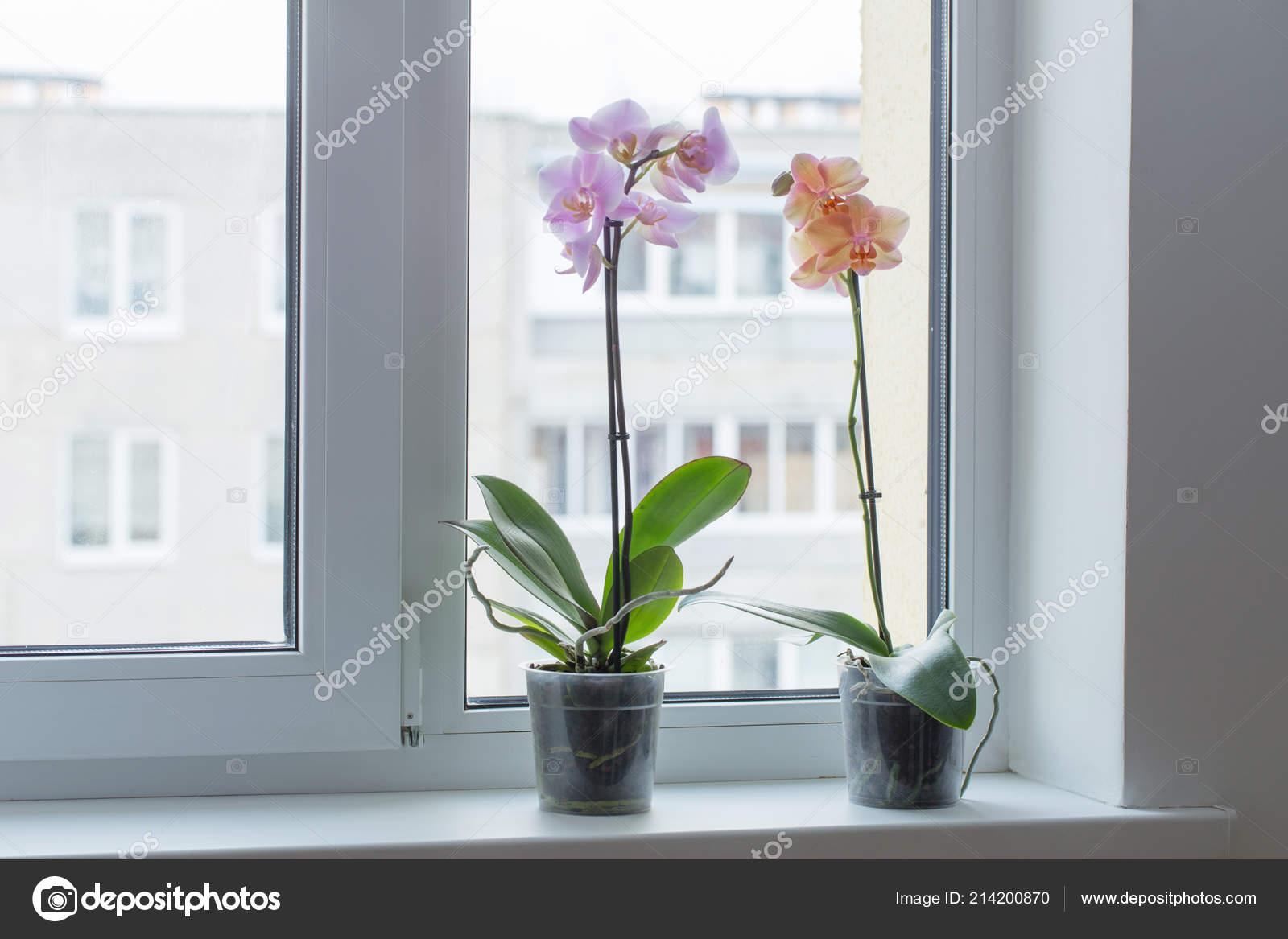 Schone Orchideen Auf Der Fensterbank Stockfoto C Kruchenkova