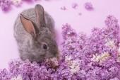 Fényképek nyuszi, lila virágok rózsaszín háttér