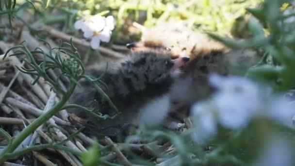 Děti racků, baby Racek. Nadýchané skvrnitá mláďata úkryt v trávě.