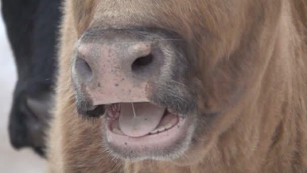 Gesicht der Kuh in Großaufnahme, langsam öffnet sich das Maul