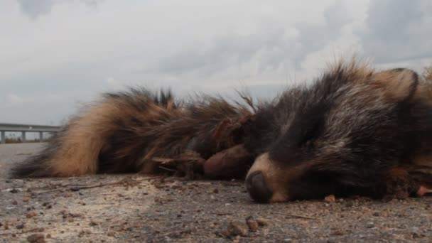 This raccoon dog was hit by a car on the highway. The corpse was pecked by crows