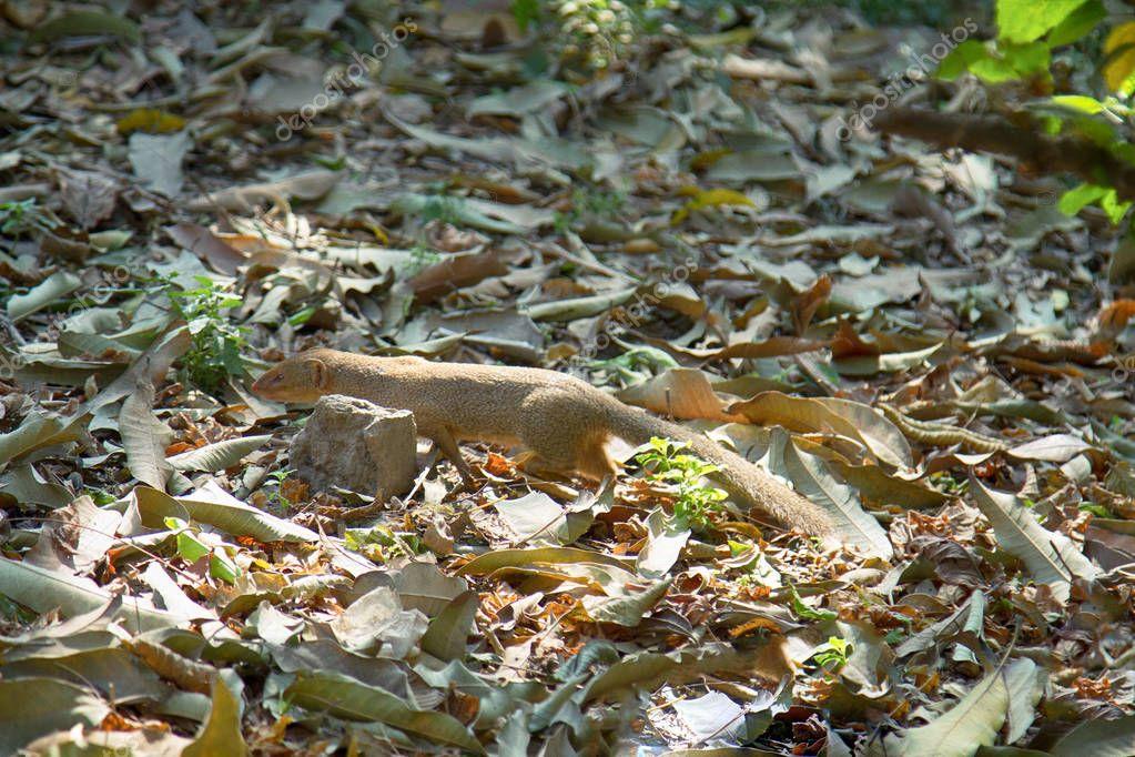 Mongoose mungo the killer of poisonous snakes