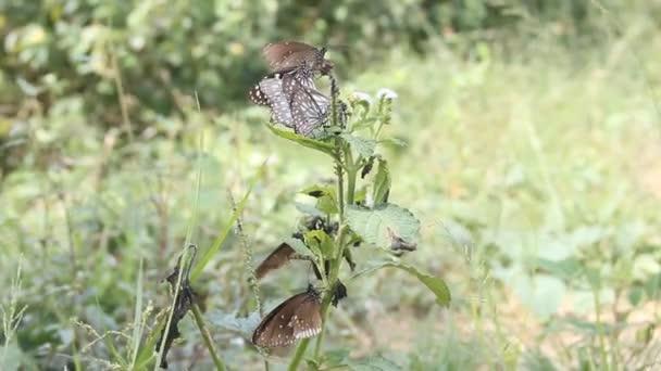 Motýli z rodu Milkweed motýl