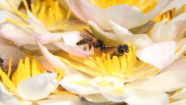 Indická včela (obří včela, Apis dorsata) sbírá nektar