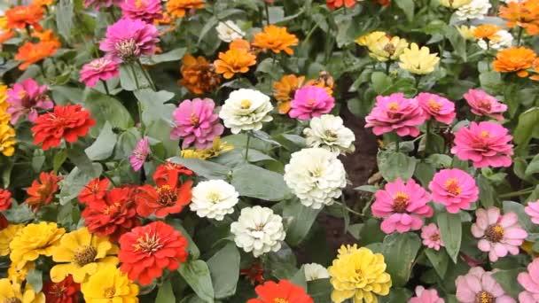 Marigolds a jiné Severní okrasné květiny