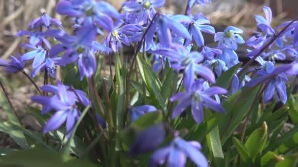 Blooming Scylla or Scilla (lat. Scilla difolia L.) close-up.