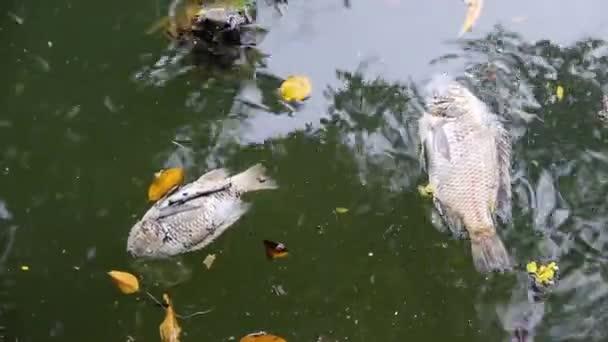 Tote Fische am Ufer des asiatischen Teichs