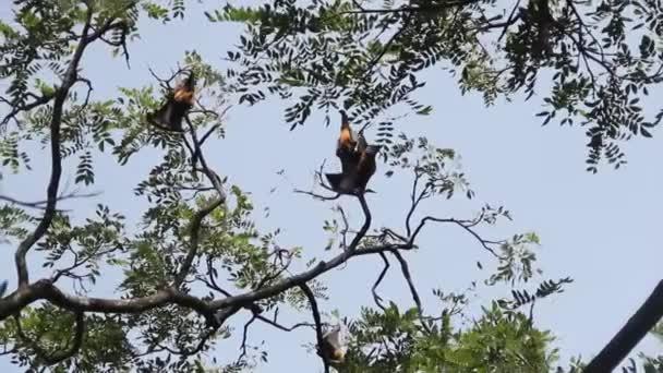 Mnoho indických létajících lišek (Pteropus giganteus) visí na stromě v poloopadavém lese