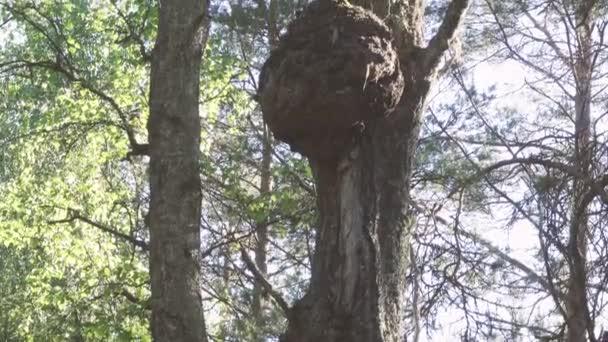 Kappe (capotorti) Knoten am Baum mit deformierten Wachstumsrichtungen der Holzfasern.